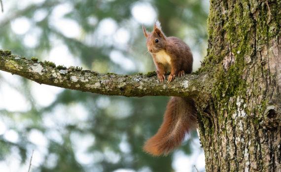 Ecureuil roux / Sciurus vulgaris