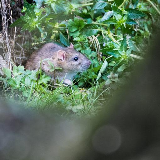 Rat brun / Rattus norvegicus