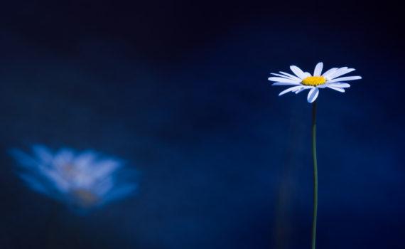 Marguerite / Leucanthemum vulgare