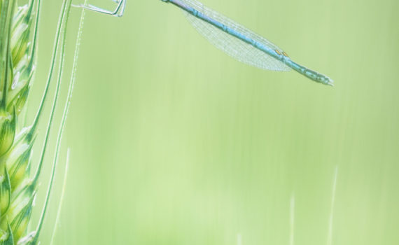 Pennipatte bleuâtre / Platycnemis pennipes