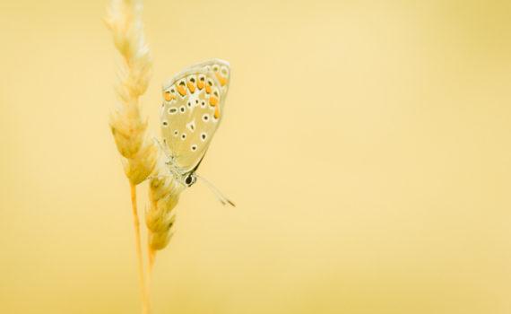 Argus bleu / Polyommatus icarus