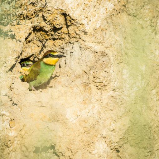 Guêpier d'Europe / Merops apiaster