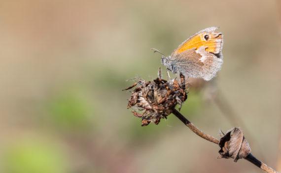 Fadet commun / Coenonympha pamphilus