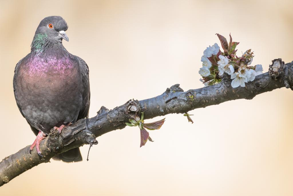 Pigeon biset / Columbia livia