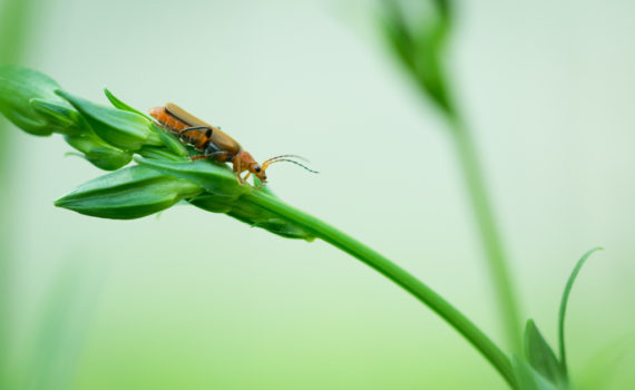 Cantharide commune / Cantharis fusca