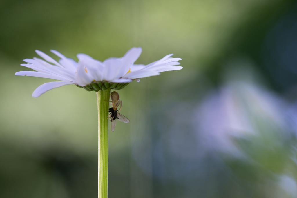 Marguerite commune / Leucanthemum vulgare