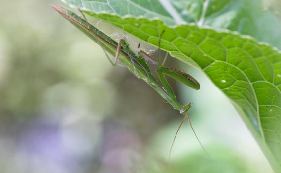 Mante religieuse / Mantis religiosa