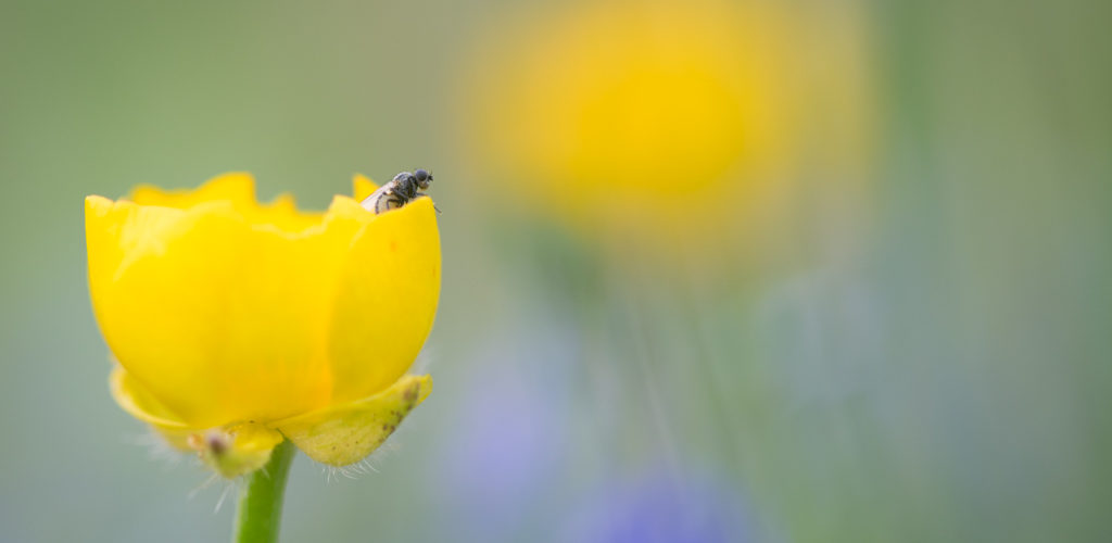 Bouton d'or / Ranunculus repens
