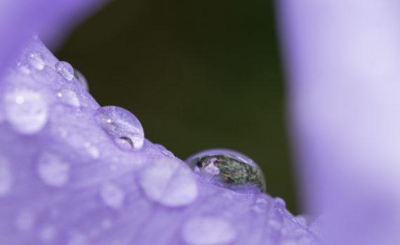 Iris de Dalmatie / Iris pallida