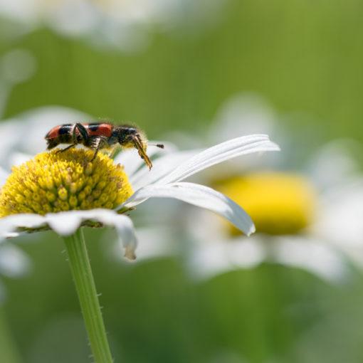 Trichode des ruches / Trichodes alvearius