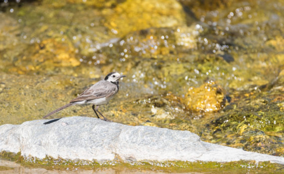 Bergeronnette grise / Motacilla alba